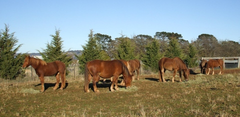 Seven chestnut draughts with their morning biscuits of meadow hay