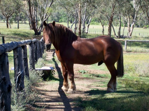 Samford Jack, Founding Stallion of modern day Australian Suffolks in his gum tree shaded paddock, Inverell, New South Wales