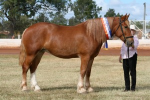 In show condition and sporting her ribbons, Amber, Gatton 2009